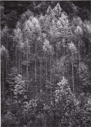 3.10G2 AnselAdams Forestfade7