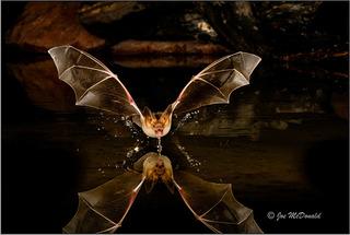 9.21 G2Gallery Pallid Bat JoeMcDonald