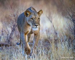 WU POW G2 RobinBlack Lioness WR