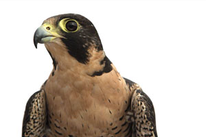 PEREGRINE FALCON Jennifer MaHarry-2
