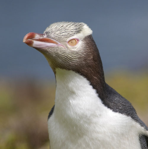 lowres-April26-G2Gallery-JJ-LHuereux-Yellow-eyed-Penguin-Enderby-Island