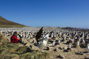 POW-LAArtShow-JJ LHeureux SteepleJasonIsland FalklandIslands 170000 breedingpairs Black browed Albatross 2014