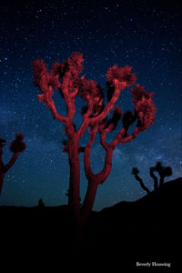 Thurs-April2-Joshua-Tree-National-Park Beverly Houwing Red Joshua Tree2