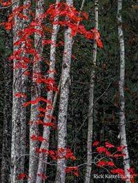 Sat-Jan16-2016-G2Gallery-RickKattelmann Lingering Red Leaves AcadiaNationalPark Maine WM