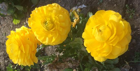 theHuntington-Camellias