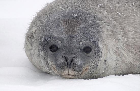 Dec8-2018-MoahCedar-JJLHeureux-Weddell-SealPup