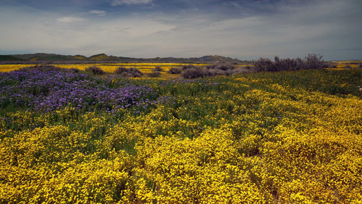 April2019-Wildflowers-Carrizo-by-Richard-Bilow-copyright-2018-Carizzo-Plain-National-Monument-Superbloom-2
